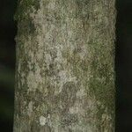 Matisia ochrocalyx