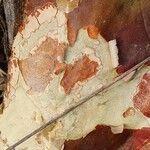 Sterculia africana Kéreg