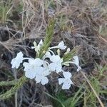 Chascanum hildebrandtii Flower