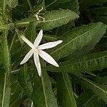 Hippobroma longiflora