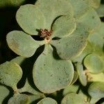 Polycarpaea carnosa