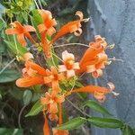 Pyrostegia venusta Kwiat