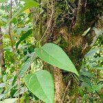 Passiflora oerstedii