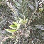 Mundulea sericea