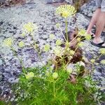 Aralia hispida