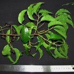Prunus rhamnoides