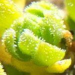 Cerastium crassipes