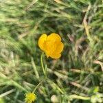 Ranunculus acris Õis