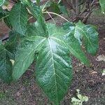 Gossypium barbadense Foglia