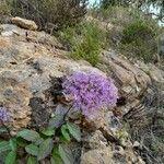 Trachelium caeruleum Kukka