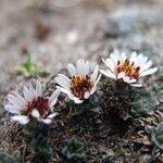Erigeron rosulatus