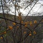 Vachellia farnesiana 花