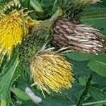 Cirsium erisithales