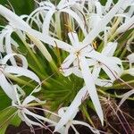 Crinum asiaticum Flower
