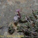 Teucrium thymifolium