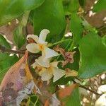 Trachelospermum asiaticum