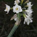 Narcissus pachybolbus