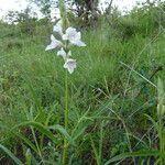 Asystasia laticapsula
