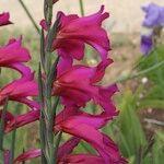 Gladiolus x byzantinus