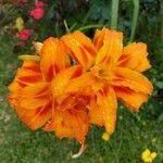 Crocosmia x crocosmiiflora Flower