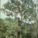 Artocarpus elasticus