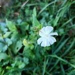 Silene latifolia Flower