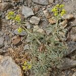 Euphorbia megalatlantica