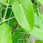Passiflora seemannii