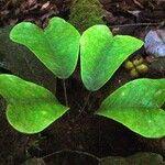 Sarcomelicope megistophylla