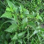 Jaltomata procumbens