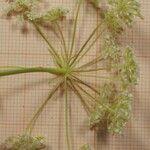 Bunium pachypodum