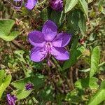 Rhynchanthera grandiflora Flower