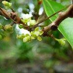 Psiloxylon mauritianum