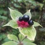 Medeola virginiana Flower