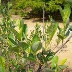 Prunus susquehanae
