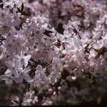 Prunus cyclamina