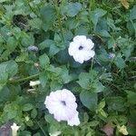 Petunia axillaris Flower
