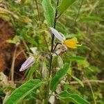 Solanum hastifolium