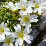 Cerastium julicum