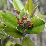 Myrtopsis myrtoidea