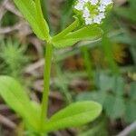 Valerianella eriocarpa