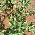 Searsia rehmanniana