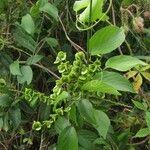 Gouania lupuloides