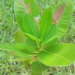 Calophyllum inophyllum List