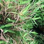 Pogonatherum