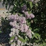 Buddleja salviifolia Flower