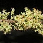 Trichilia trifolia