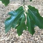 Quercus × ludoviciana