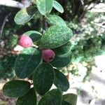 Cotoneaster affinis