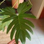 Philodendron xanadu List